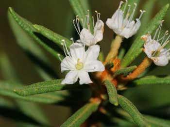 Багно болотний лікувальні властивості та протипоказання застосування