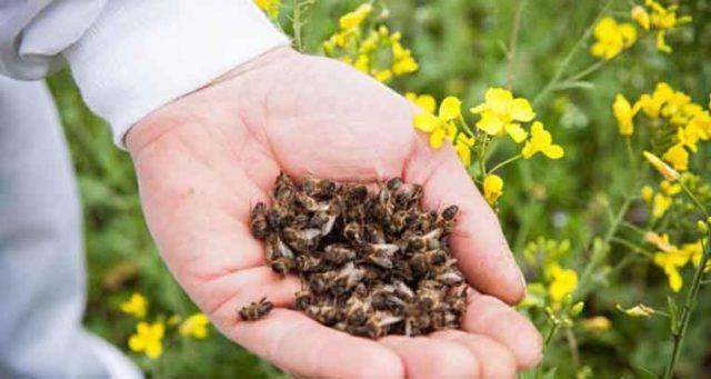 Бджолиний підмор в народній медицині