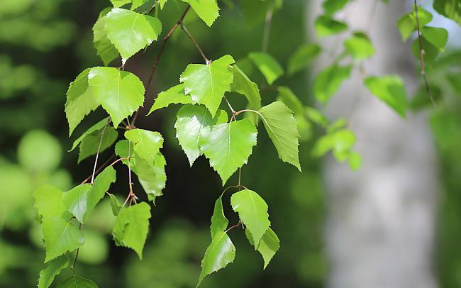 Березові листя – лікувальні властивості і протипоказання. Застосування листя берези в народній медицині
