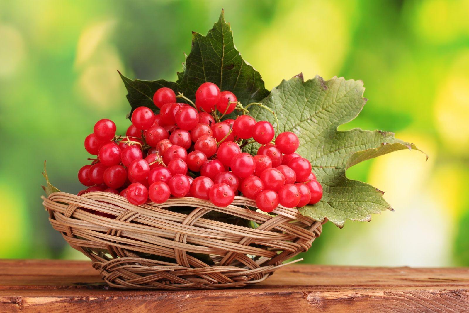 червона Калина – корисні властивості і протипоказання. Лікувальні рецепти – застосування в народній медицині кори, листя, ягід калини