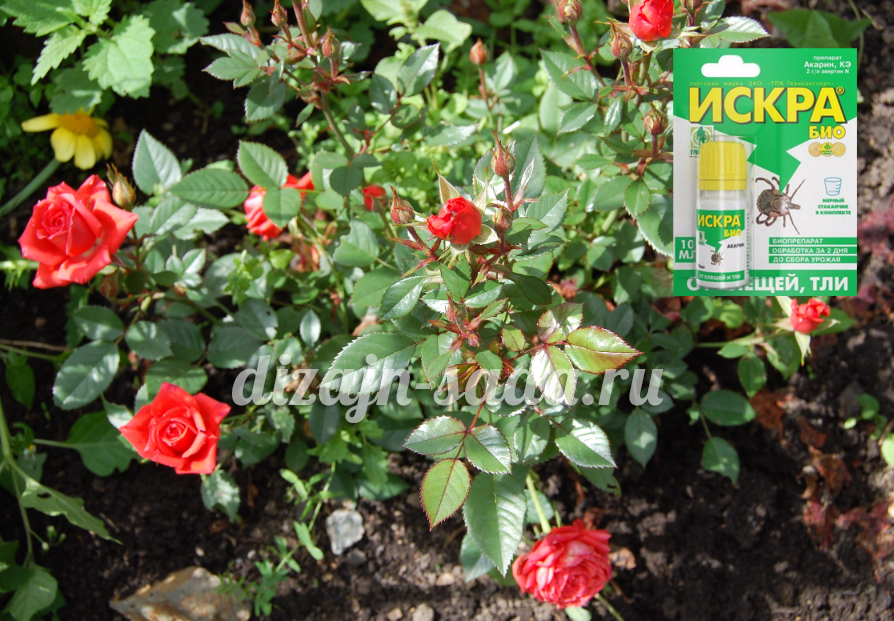 Чим обробити і обприскати троянди від попелиці: хімія або народні засоби
