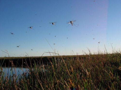 Ефективні народні засоби від комарів і мошок