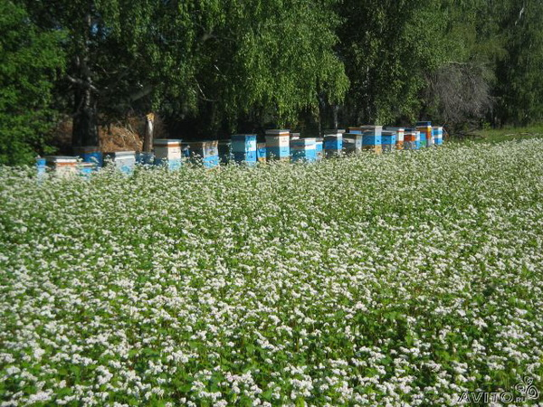 Гречаний мед: користь і шкода для організму