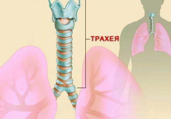 Лікування трахеїту у дорослих – як вилікувати хворобу 2019