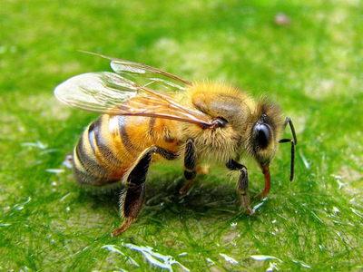 Лікування укусами бджіл в домашніх умовах. Процес лікування ужаливанием бджолами