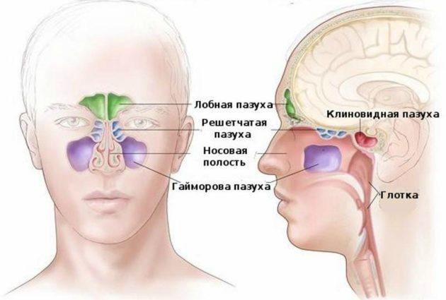 Лобові пазухи будова функції захворювання