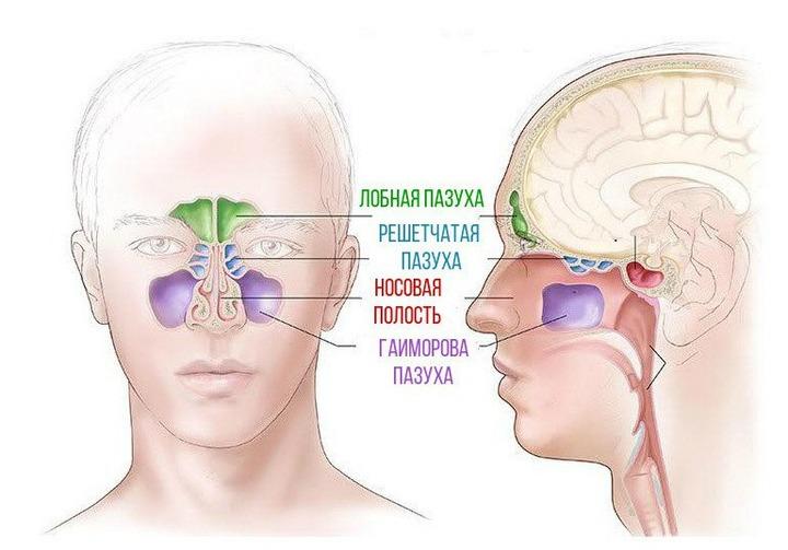 ЛОР-хвороби. Лекція 1. – Клінічна анатомія та фізіологія носа і придаткових пазух клінічна анатомія носа