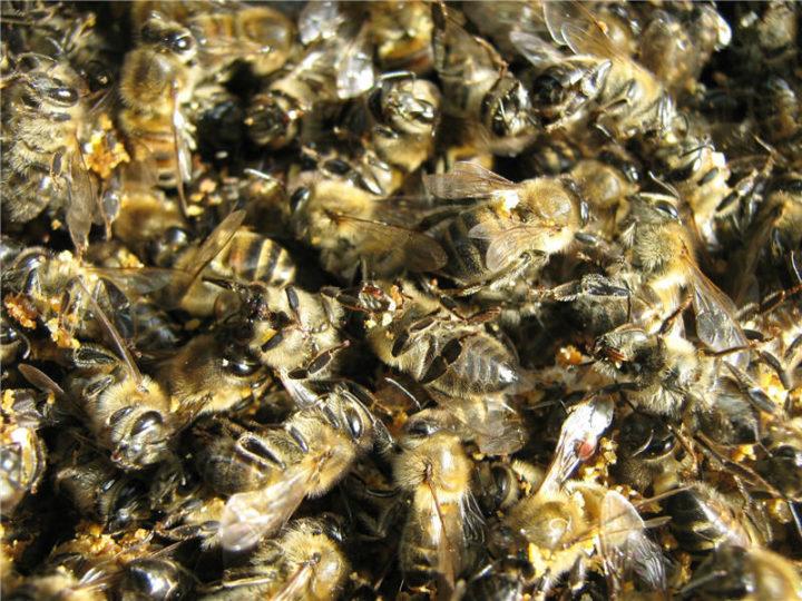 Настоянка з мертвих бджіл на горілці