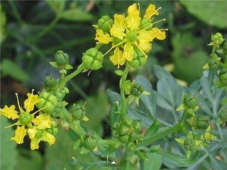 Рослини викликають прищі на шкірі