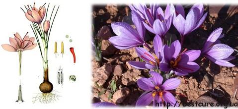 Шафран посівний – способи застосування для лікування в домашніх умовах